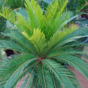 Cycads & Succulents